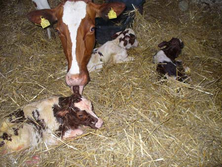 Kühe im Stall für unsere Milch